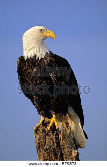 Bald eagle perching, Haliaeetus leucocephalus, Southeast Alaska - Stock Image