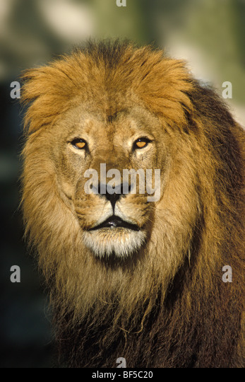African Lion (Panthera leo), male, portrait, Africa - Stock Image
