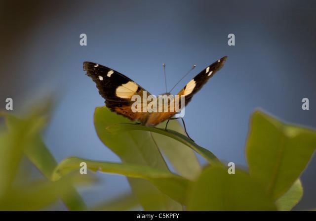 Yellow Admiral butterfly (Vanessa itea) New Zealand - Stock Image
