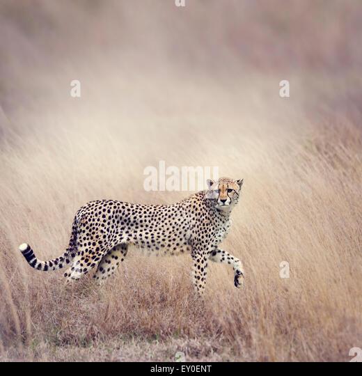 Cheetah Stalking Through The  Grassland - Stock-Bilder