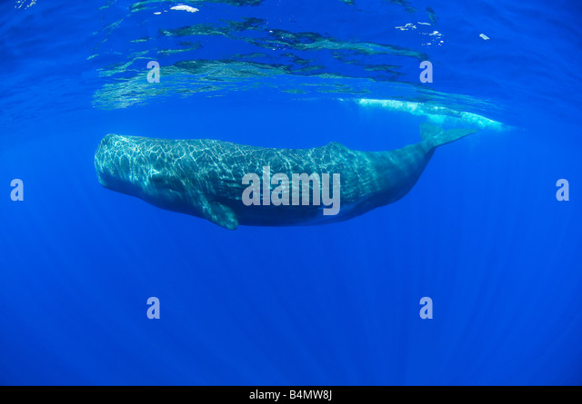 sperm whale underwater, Physeter catodon, Physeter macrocephalus - Stock Image