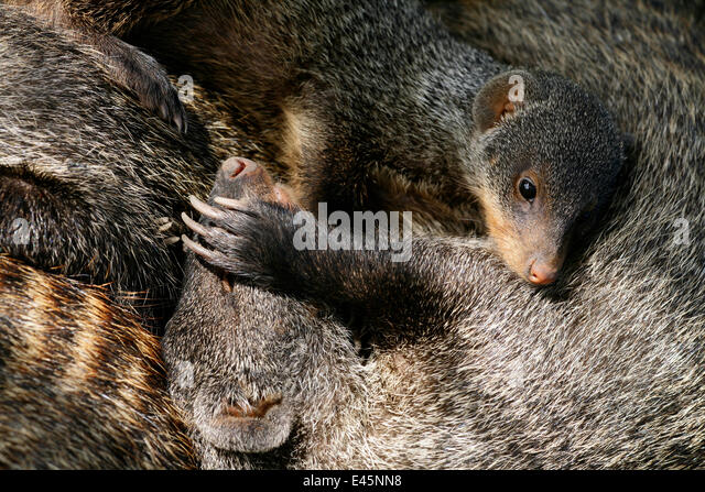 Banded Mongoose (Mungos mungo) group resting  together in shade during heat of mid-day, Mweya Lodge, Queen Elizabeth - Stock Image