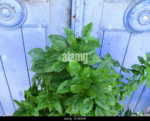 how to grow mint from seed in a pot
