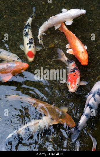 Orange white multi colored koi carp stock photos orange for Pool koi aquatics ltd
