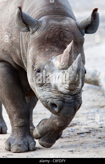 Black Rhino, South Africa - Stock Image