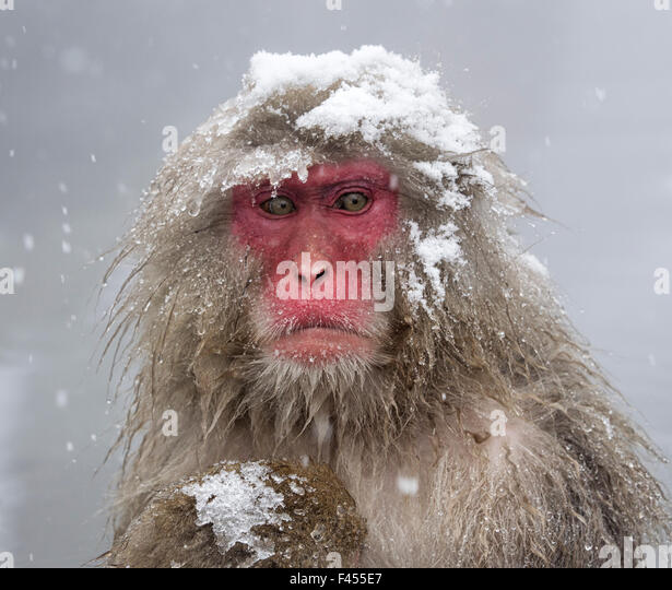 Japanese Macaque (Macaca fuscata) mother holding her baby in snowstorm, Jigokudani, Japan. - Stock Image