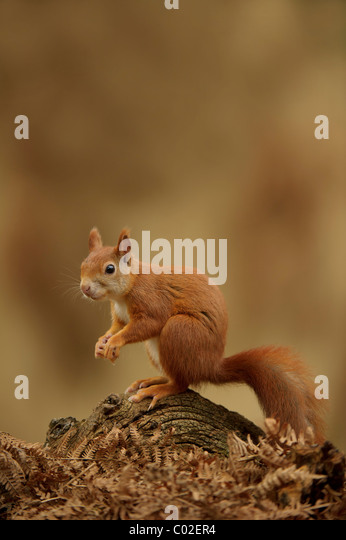 Red Squirrel (Sciurus vulgaris). Alert male on a dead branch on the forest floor amongst brackens during autumn - Stock Image