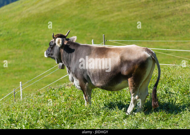 Cow with a little bell in the Alps, standing on fresh green mountain pasture - Stock Image