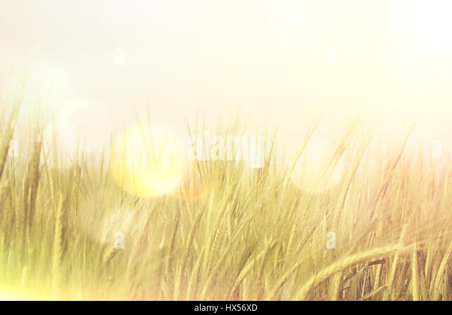 Image of wheat field with retro effect and bokeh lights - Stock Image