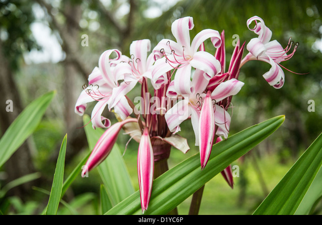 Tropical Island Flowers: Seychelles Islands Flower Stock Photos & Seychelles