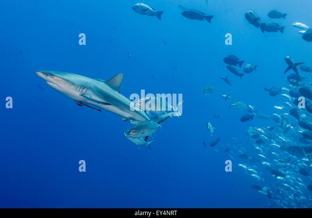 Grey Reefshark (Carcharhinus amblyrhynchos) and School of Jackfish - Stock Image