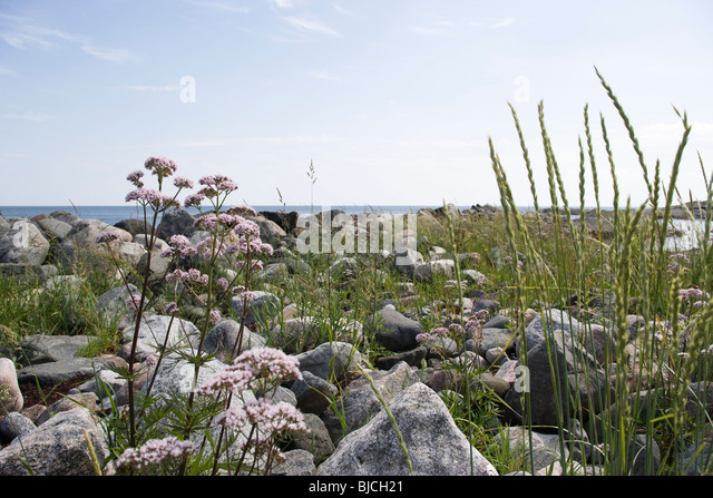 Valerian and tall grass growing at water's edge - Stock Image