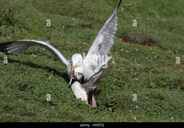 European Herring Gull (Larus argentatus) adult in summer plumage, attacking Atlantic Puffin (Fratercula artica) - Stock-Bilder