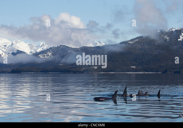 Killer Whale pod showing dorsal fins on glassy calm surface of Prince William Sound with Chugach Mountains in background, - Stock Image