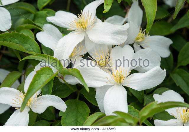 white clematis montana flowers stock photos white. Black Bedroom Furniture Sets. Home Design Ideas