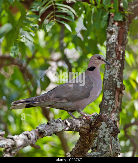 A Red-eyed Dove. - Stock Image