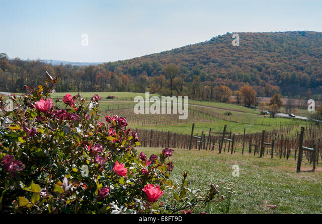 West Virginia Vineyard - Stock Image