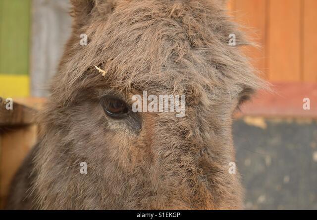Shy donkey - Stock Image