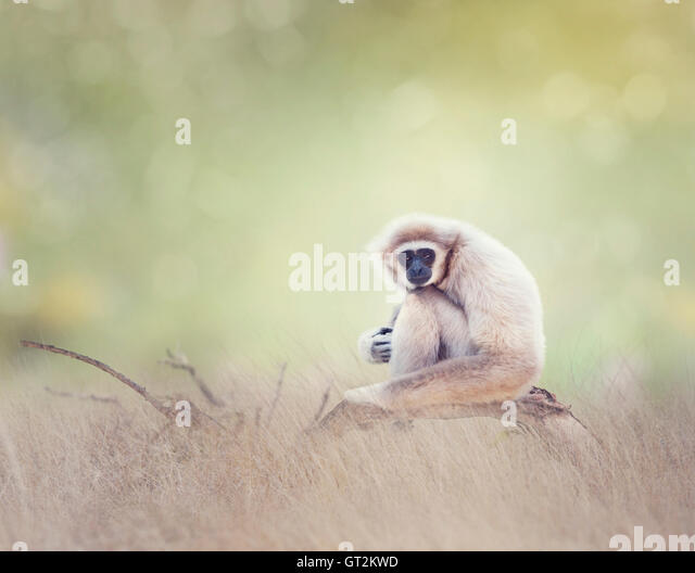 Portrait of White-handed gibbon(Hylobates lar) sitting on a branch - Stock Image