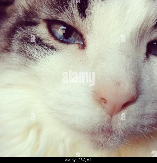 USA, California, San Francisco, Close up portrait of white cat - Stock Image