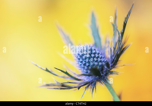 Purple thistle in spring - Stock Image