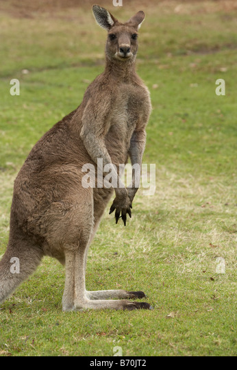 Kangaroo Trial Bay New South Wales Australia - Stock Image