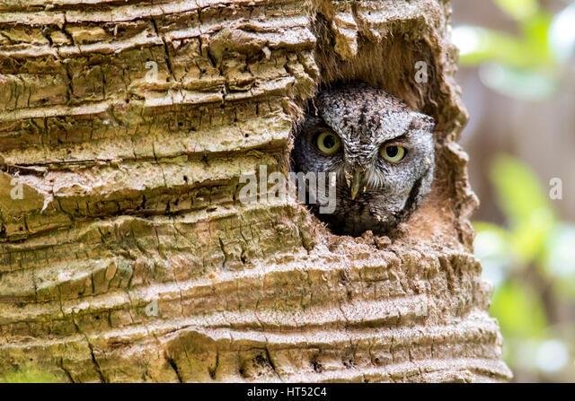 Eastern Screech Owl (Megascops asio) in Palm Tree cavity - Green Cay Wetlands, Boynton Beach, Florida, USA - Stock Image