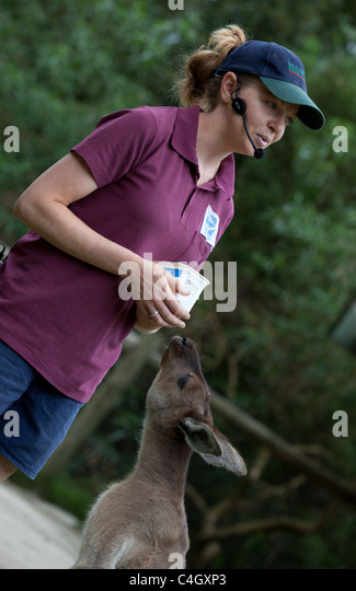Red kangaroo with keeper at Healesville Sanctuary, Australia - Stock Image