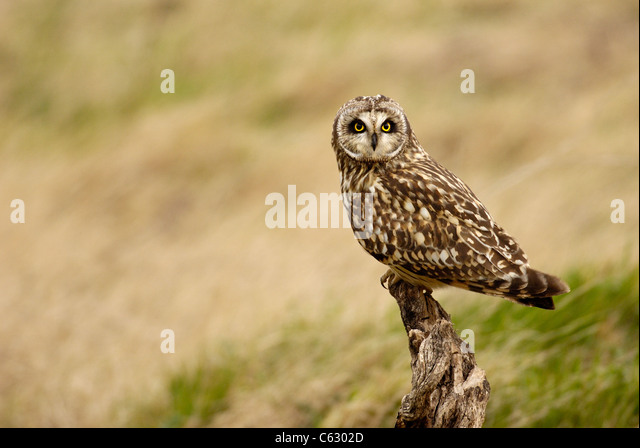 SHORT-EARED OWL Asio flammeus  An adult perched on an old stump at dusk North Wales, UK - Stock-Bilder