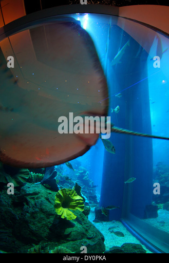 Downtown Dubai,  Dubai mall, aquarium, underwater Zoo, Dubai - Stock Image
