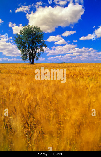 A maturing barley crop blows around in the wind with a Cottonwood tree in the background near Dugald, Manitoba, - Stock Image
