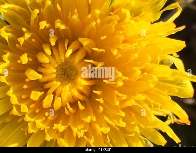 Yellow flower on macro - Stock Image