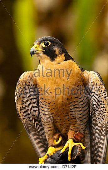 Peregrine falcon (Falco peregrinus), Deer Mountain Tribal Hatchery and Eagle Center, Ketchikan, Alaska USA - Stock-Bilder