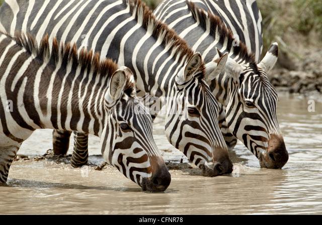 Three common zebra (Burchell's zebra) (Equus burchelli) drinking, Ngorongoro Crater, Tanzania, East Africa, - Stock Image