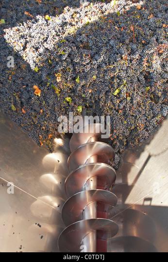 grapes in the receiving hopper quinta de sao jorge alentejo portugal - Stock Image