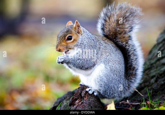 A grey squirrel. - Stock Image