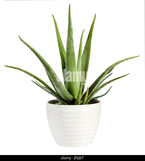 Potted Aloe Vera Stock Photos Amp Potted Aloe Vera Stock
