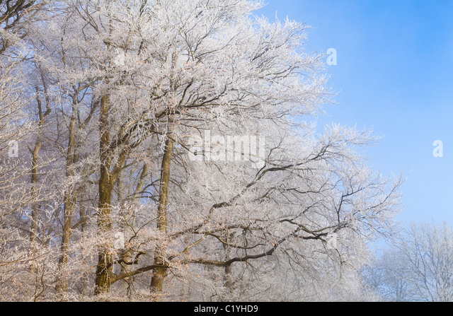 Hoar frost and mist in winter on beech trees on Scottsquar Hill in the Cotswolds at Edge, Gloucestershire, England, - Stock Image