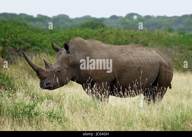 White Rhinoceros (Ceratotherium simum) standing in grass - Stock Image