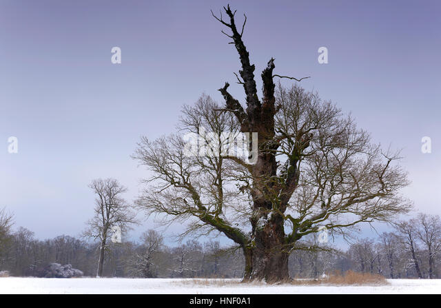 Old oak tree in winter, Middle Elbe Biosphere Reserve, Saxony-Anhalt, Germany - Stock Image