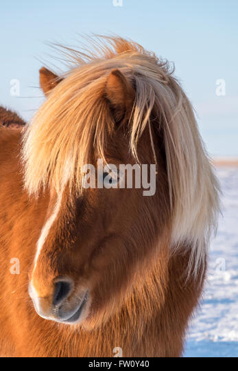 Icelandic Horse in winter, near Hofn, Southern Iceland - Stock Image