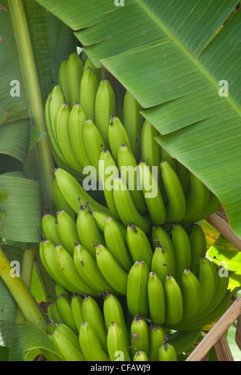 Green Bananas Stock Photos & Green Bananas Stock Images ...