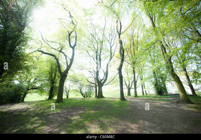Trees along dirt path in forest - Stock Image