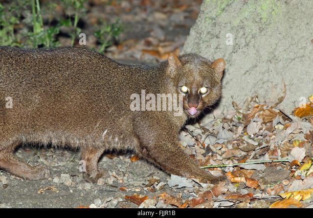 Jaguarundi (Puma yagouaroundi). Grey colour phase. Small cat native to South America. - Stock Image