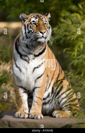 Amur Tiger or Siberian Tiger - Panthera tigris altaica - Stock Image