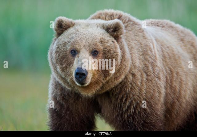 Alaskan brown bear - Stock Image