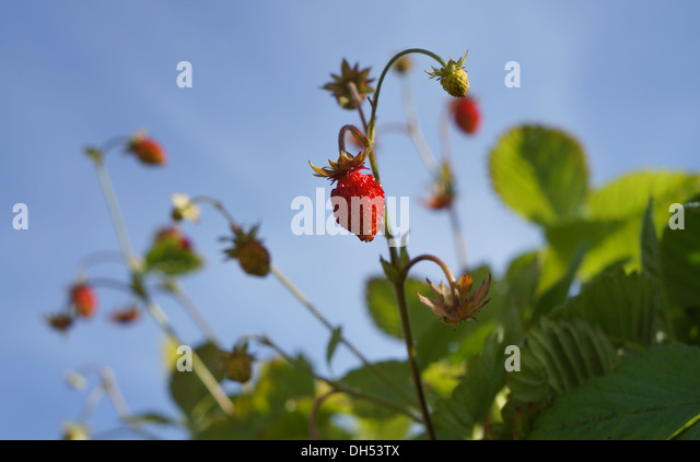 Wild strawberry against the sky - Stock Image