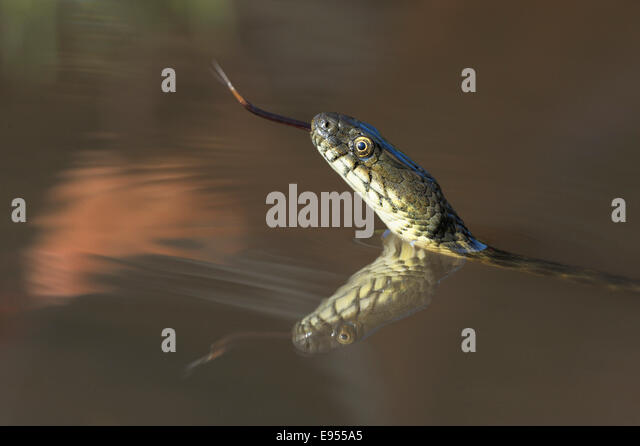 Dice Snake (Natrix tessellata), darting its tongue, in the water, with reflection, Bulgaria - Stock Image