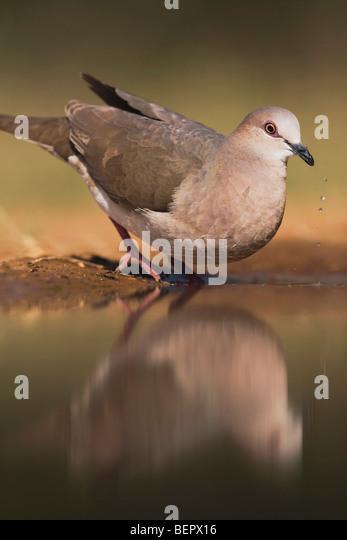 White-tipped Dove (Leptotila verreauxi),adult drinking, Rio Grande Valley, Texas, USA - Stock Image