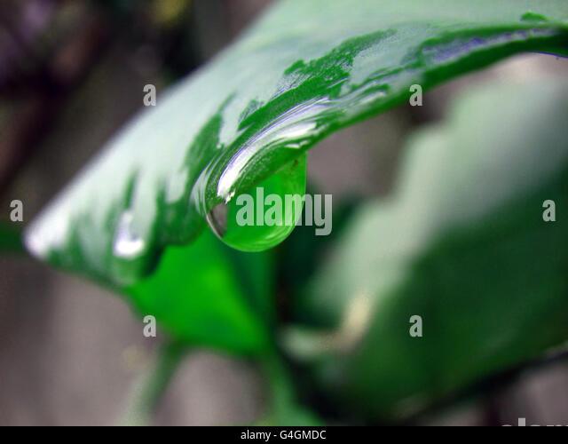 Raindrop on a leaf - Stock Image